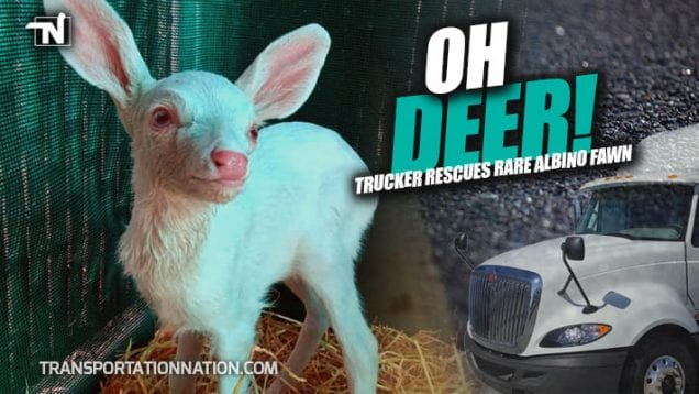 Oh Deer! Trucker Rescues Albino Fawn – Kindred Spirits Fawn Rescue